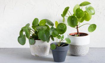 چگونه گیاه پول بکارید؟