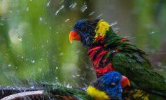 چگونه پرندهمان را حمام کنیم؟