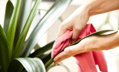 چرا باید برگ گیاهان خانگیمان را تمیز کنیم؟