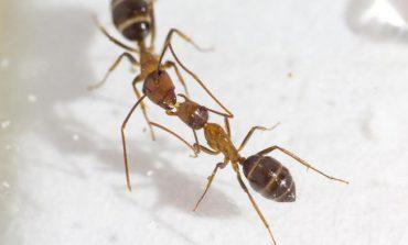 مورچهها به وسیله بوسه رای گیری میکنند!
