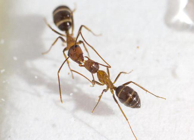 مورچه ها به وسیله بوسه رای گیری میکنند!!