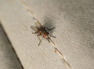 چگونه از شر مگسها خلاص شویم؟