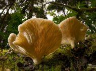 این قارچهای معروف گوشتخوارند!