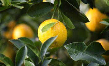 از یک دانه لیمو ترش، درخت لیمو پرورش دهید