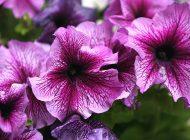 اطلسی در تمام تابستان گل دارد!
