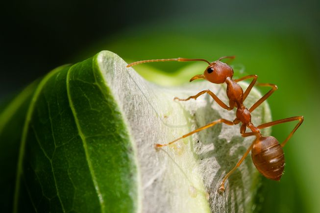 برای مبارزه ایمن تر و ارزان تر با آفات، از مورچهها استفاده کنید