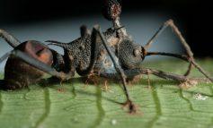 زامبی وجود دارد، اما نوع مورچهای آن!