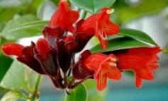 اسکینانتوس، گیاهی تازه