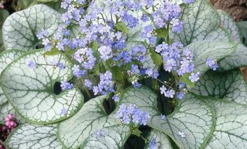 بهترین گیاهان برگ نقرهای برای زیبا کردن بالکن و باغچه!