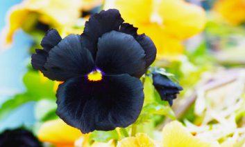 گیاهانی با گل سیاه رنگ!