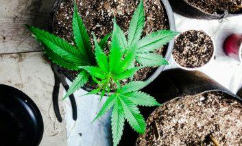 آیا گیاه شاهدانه میتواند مشکلات خواب را درمان کند؟