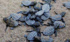 نجات لاکپشتهای دریایی ترکیه