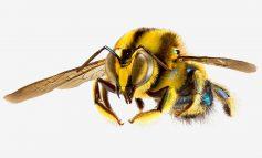 استرالیا؛ سرزمین رویایی زنبورها