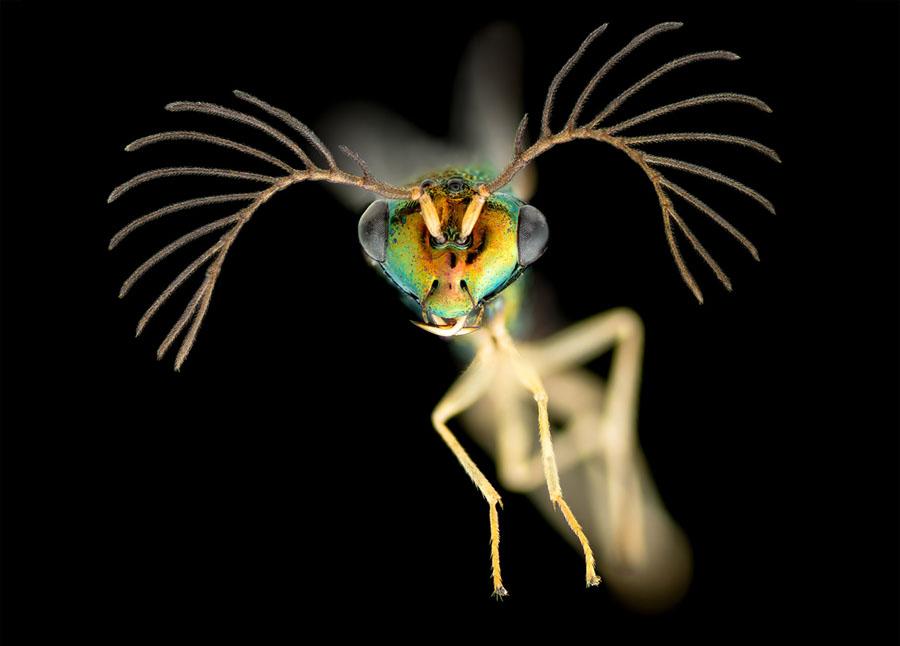 برنده عنوان تصویر متمایز: یک زنبور نر (4 برابر بزرگتر شده است)