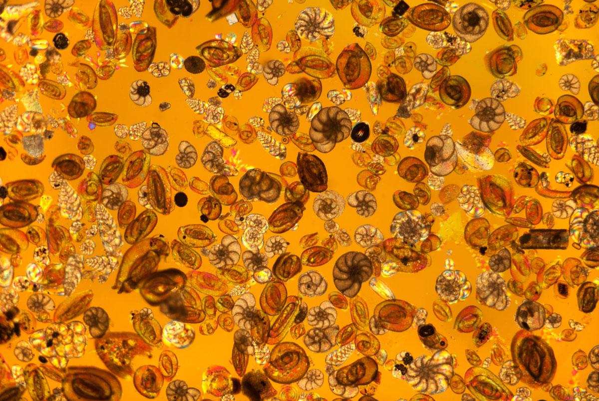 4- پوسته یک آغازی تک سلولی به نام foraminifera.