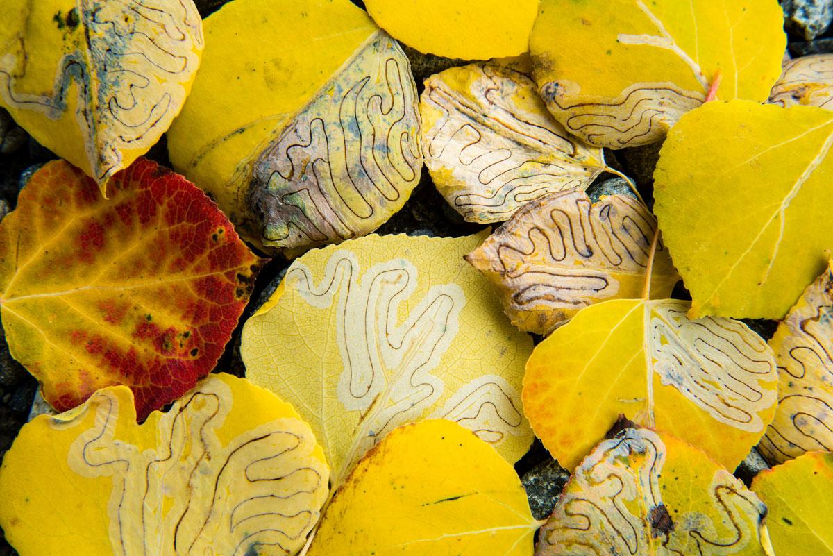 6- راههای مارپیچی که روی برگها میبینید به وسیله لارو آفاتی که از آنها تغذیه کرده اند به وجود آمده است و الگوهای جالبی را به وجود آورده.