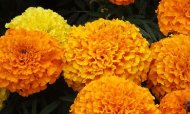فوت و فن کاشت گل جعفری