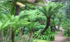 فوت و فن پرورش سرخس دیکسونیا درختچهای برای خانه