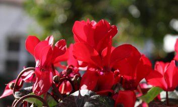 ۱۰ گیاه رمانتیک آپارتمانی با برگهای قلبی شکل