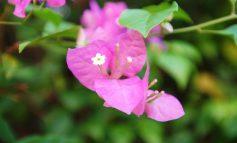 چرا برگهای گل کاغذیم به این حال و روز درآمدهاند!