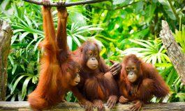 مانند ما انسانها، اورانگوتانها هم راجع به گذشته صحبت میکنند!