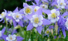 تاج الملوک، گلی برای زمستان