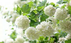 نکاتی برای پرورش افلوس یا گیاه بداغ
