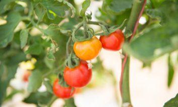 در گلدان، در خانه گوجه پرورش دهید