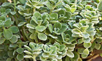 گیاهی با نام عجیب: پلکترانتوس آمبوینیکاس!