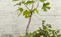 درخت انجیر بکارید، خیلی ساده است!