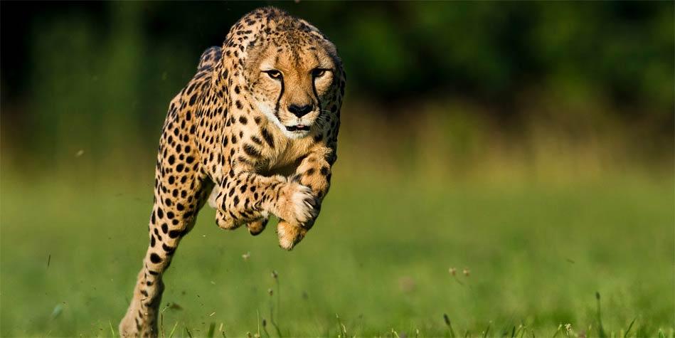 سریعترین جانوران روی زمین