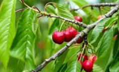 چطور درخت گیلاس بکاریم