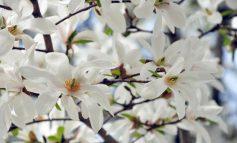گلهای بهاره سفید رنگ