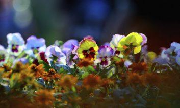 گلهای بنفشهتان حشره زده؟
