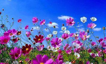 ۱۱ گل خوشبوی بهاری