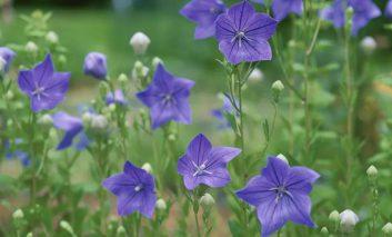 فوت و فن پرورش گل بادبادک خیال انگیز!