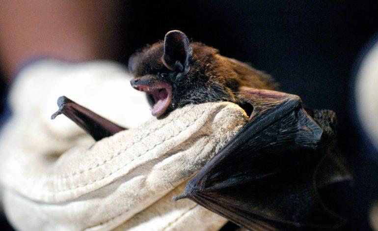 خطر ابتلا به هاری در خفاشها بیشتر از سگها است