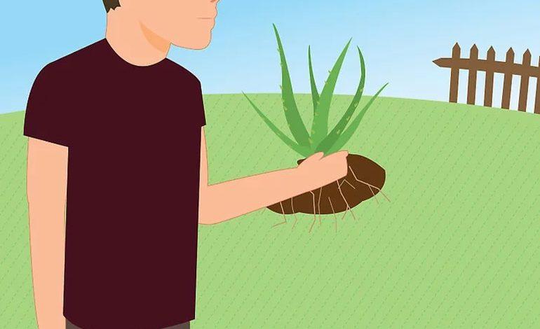 چطور گیاه آلوئه ورای در حال مرگ از پوسیدگی ریشه را نجات دهیم؟