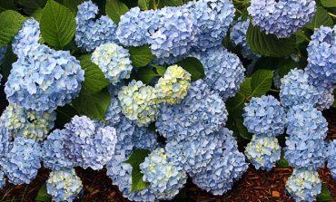 ۷ راه برای وادار کردن گیاه ادریسی به گلدهی!