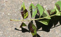 چرا برگهای گیاهانم سیاه میشوند؟