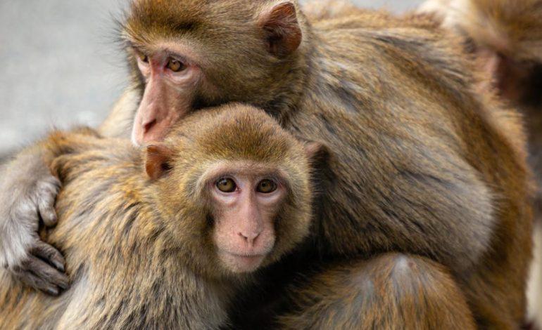 تاثیر استرس و وضعیت اجتماعی گذشته بر روی ژن و سلامت در میمونها