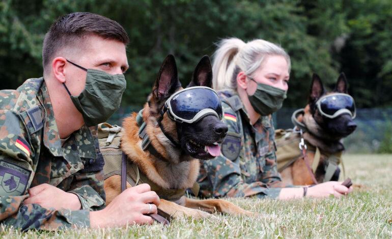 سگهای بوی ارتش آلمان در داون آلمان در 24 ژوئیه 2020 در زمین چمن استراحت میکنند. عینک محافظ در برابر آفتاب و گرد و غبار