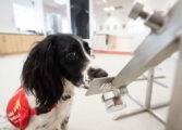 سگهای آموزش دیده برای استشمام COVID-19