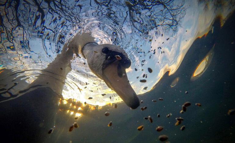 خوراک خورشید بی صدا قو در زیر آب : برنده ، آبهای انگلیس جمع و جور.
