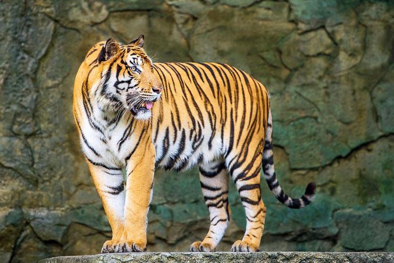Tiger at the Tierpark Berlin